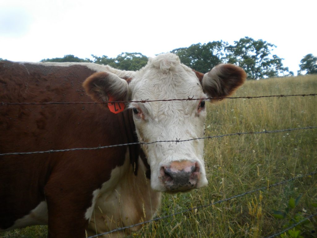 image of brown cow in field
